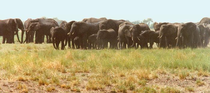 Big herd of elephants in Botswana