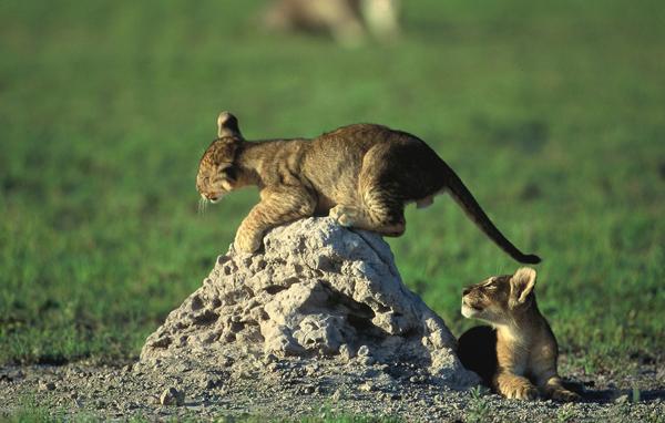 Lions playing on a turmite mound