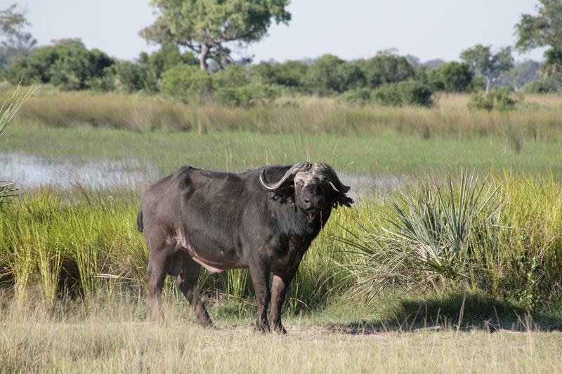 Buffalo in Botswana