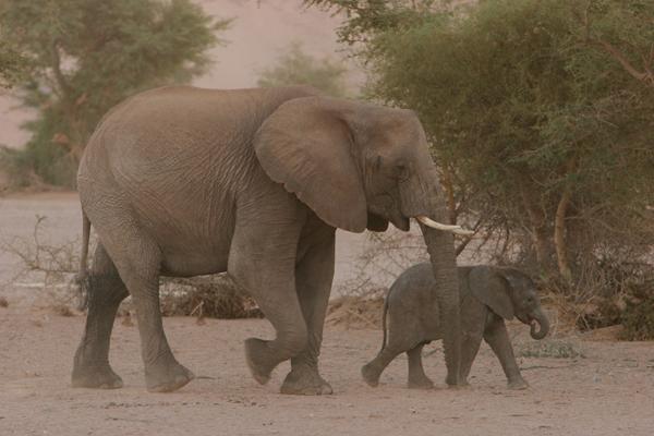 Elephant and baby elephant in Namibia