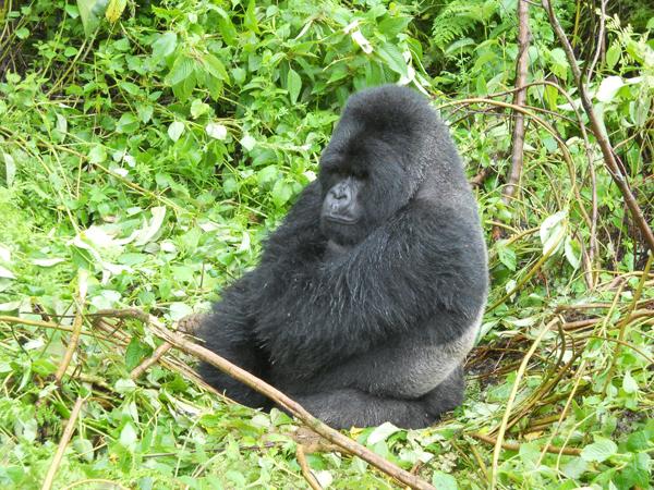 Grumpy silverback gorilla in Rwanda