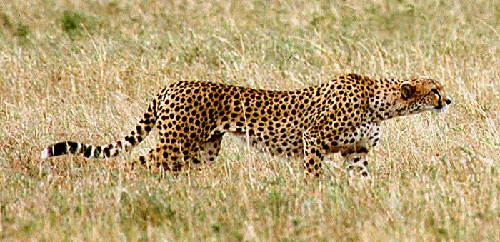Cheetah hunting in the Masai Mara, Kenya