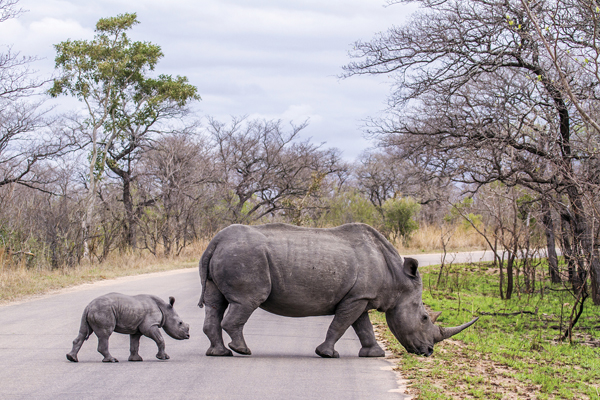 Rhino with baby in Kruger National Park, South Africa