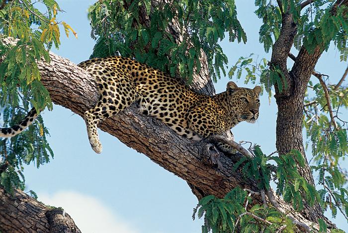 Leopard in a tree in Zambia