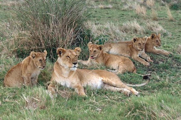 5 lions lying under a tree in Kenya