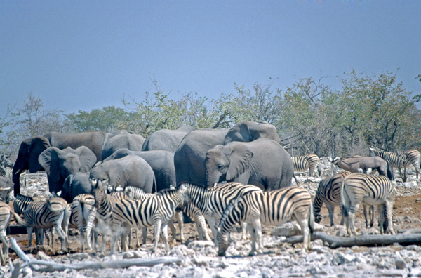 Zebras and elephants in Namibia
