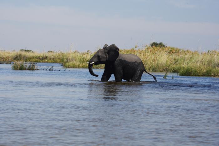 An elephant in the Okavango Delta, Botswana