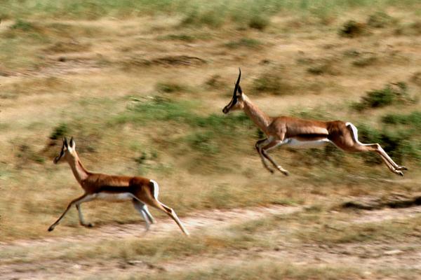 Two antelopes in Tanzania