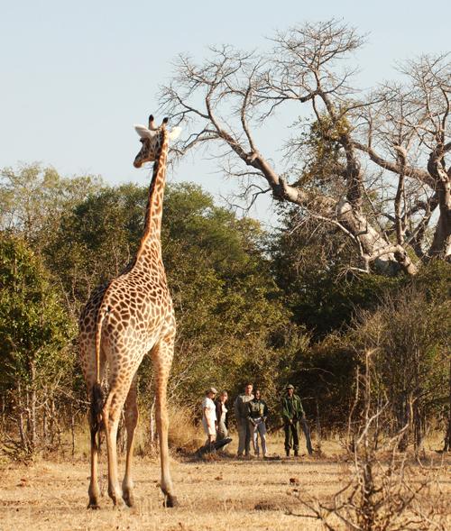 A giraffe spotted on a walking safari in Zambia