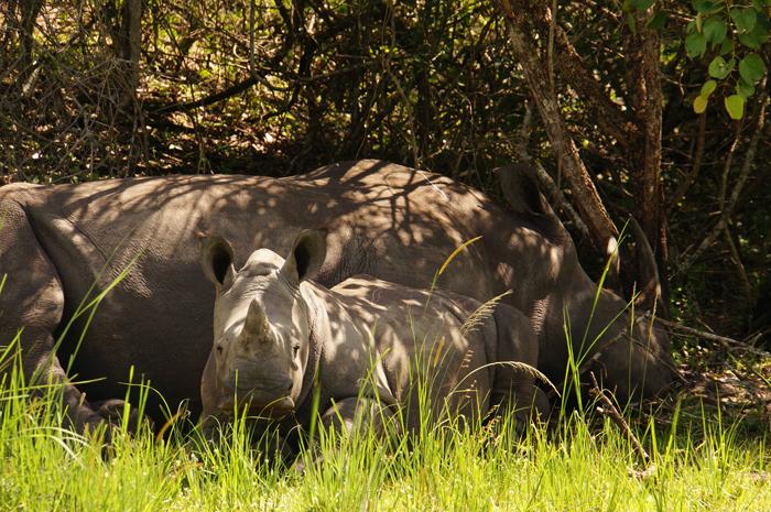 Rhinos in Uganda
