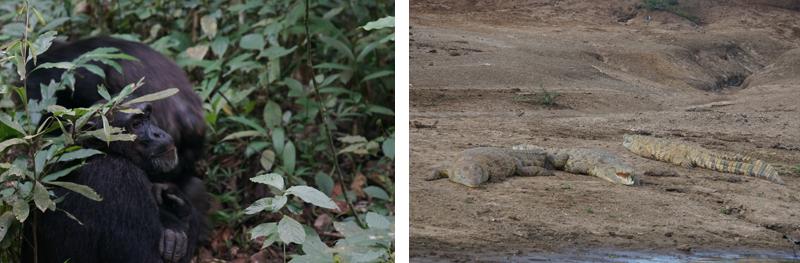 Gorilla and crocodiles in Uganda