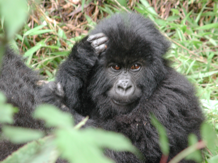 Beautiful young gorilla