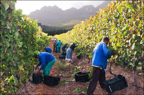 Grape harvesting, South Africa