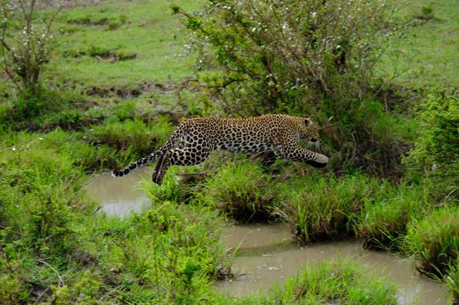 Leopard in Masai Mara on a Kenya safari