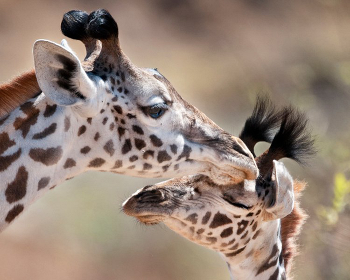 Giraffe with baby giraffe