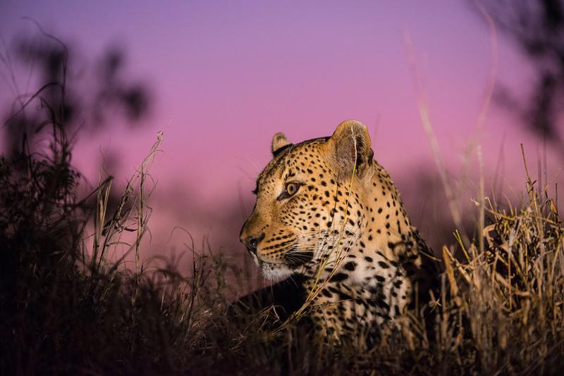 Leopard at sunset in Kruger National Park
