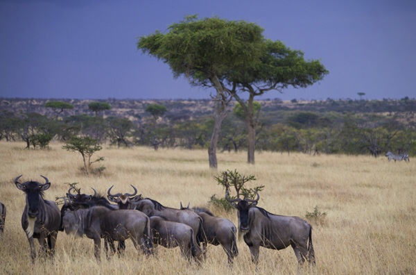 A group of wildebeest