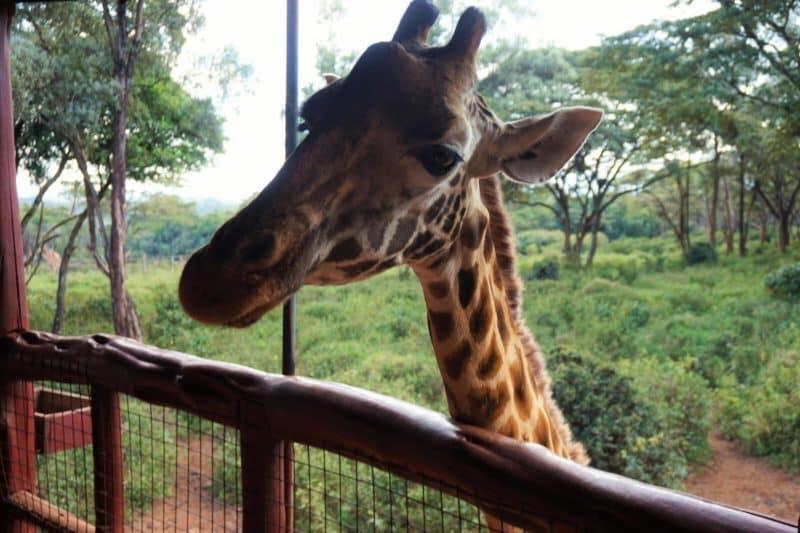 Giraffe at Giraffe Centre, Kenya