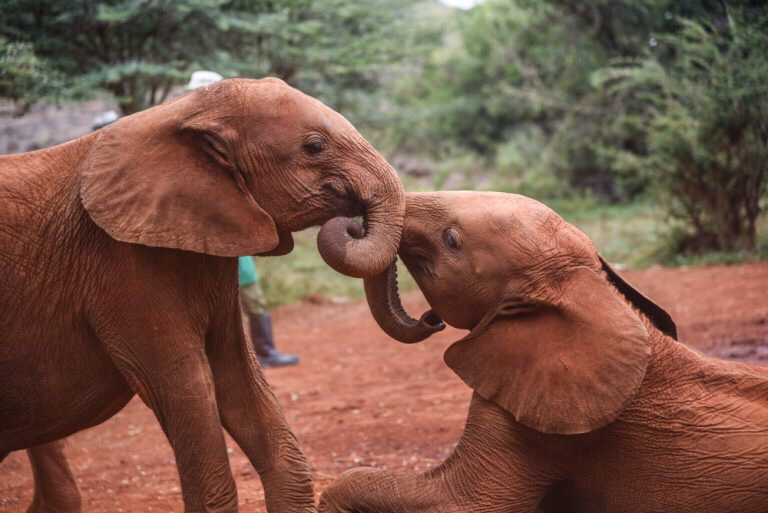 Young elephants at David Sheldrick's, Kenya