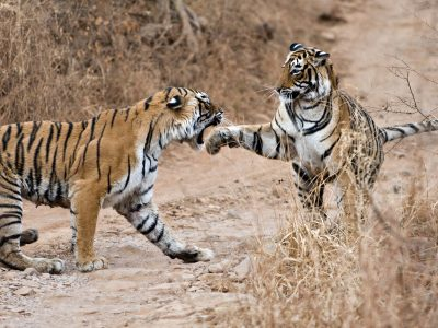 BENGAL TIGER (Panthera tigris tigris) mother fighting with 18 month old cub - they fight when it is time for the cubs to move on and find their own territory, India
