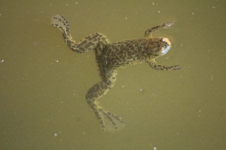 A Muller's Clawed Frog
