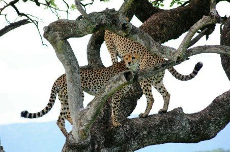 Cheetahs in a tree