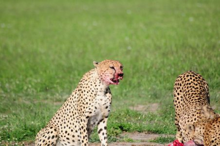 Cheetahs eating prey