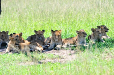 Lion pride in the Masai Mara