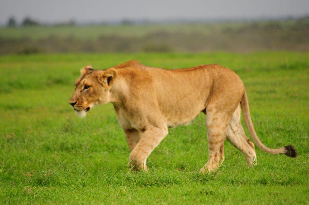 Lioness in Kenya