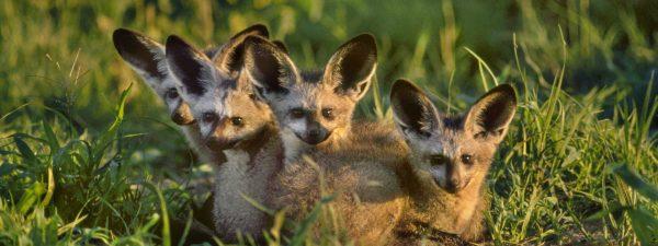 Wild African in dogs in Botswana