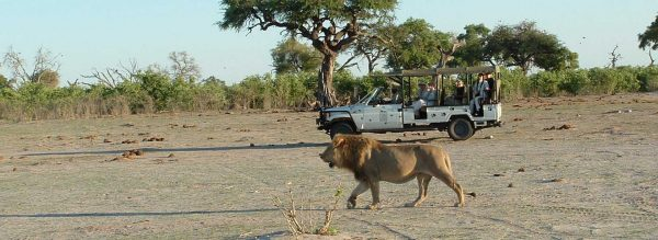 Lion in front of a safari vehicle in Botswana