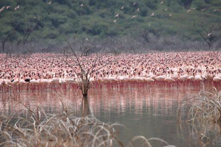 Flamingoes in Lake Bogoria, Kenya