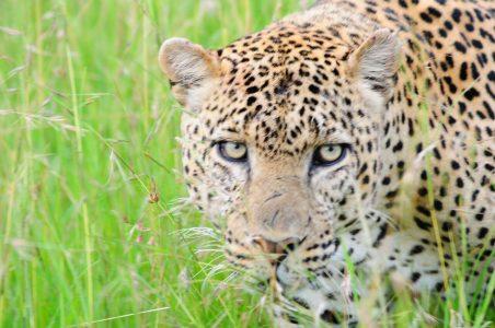 Leopard up close