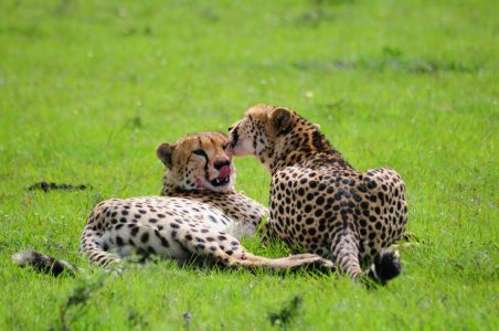Cheetahs cleaning each other