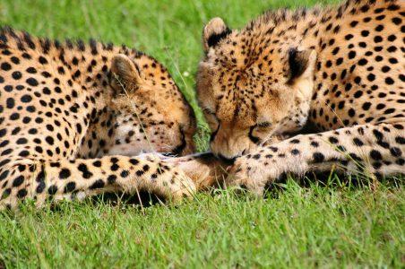 Cheetahs eating kill