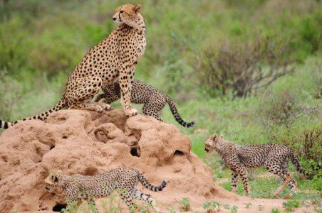 Cheetah and Cheetah Cubs