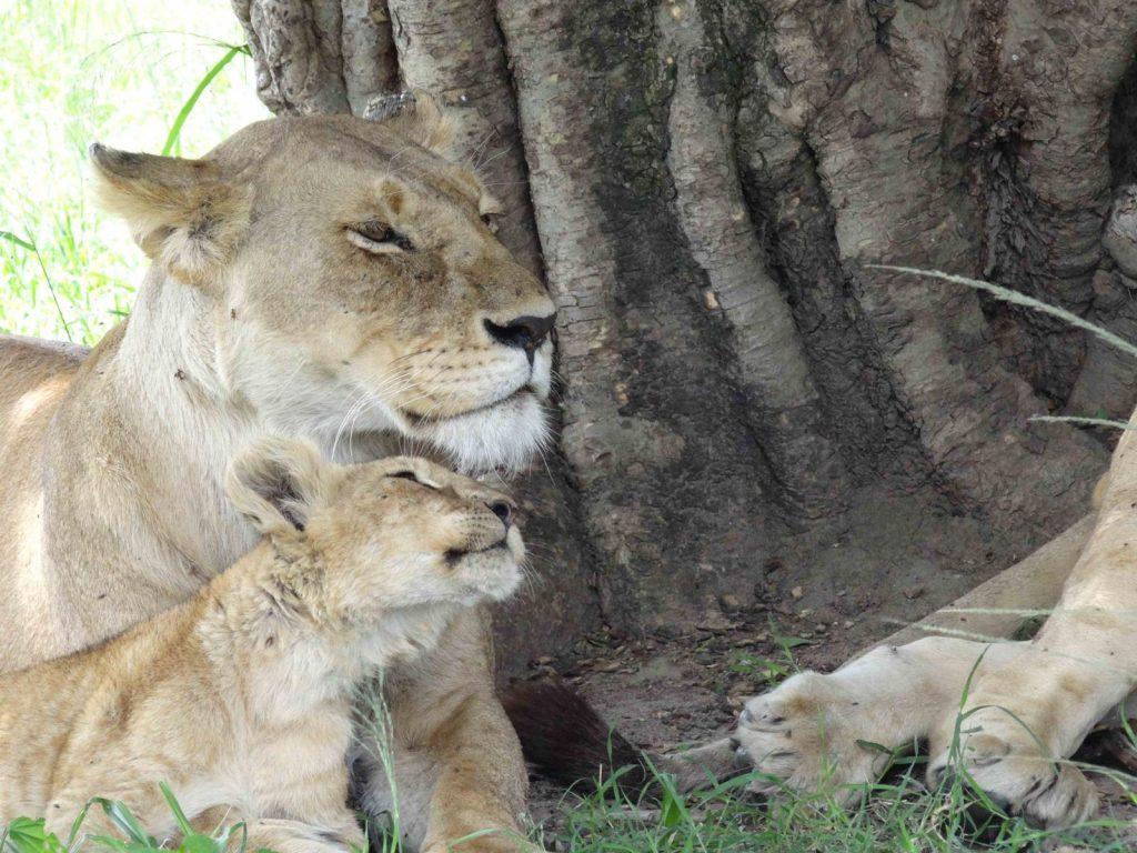 Lioness and cub On safari in Kenya