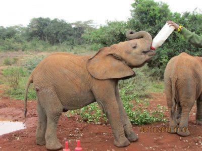 Feeding baby elephant at David Sheldrick's