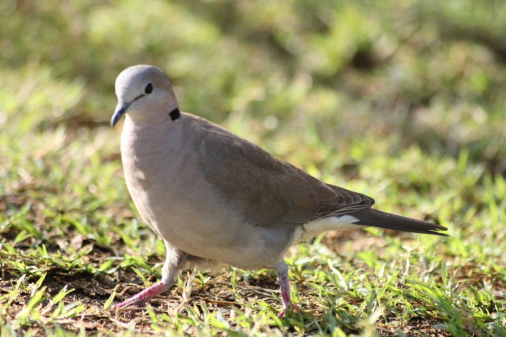 Ring-necked dove in Kenya