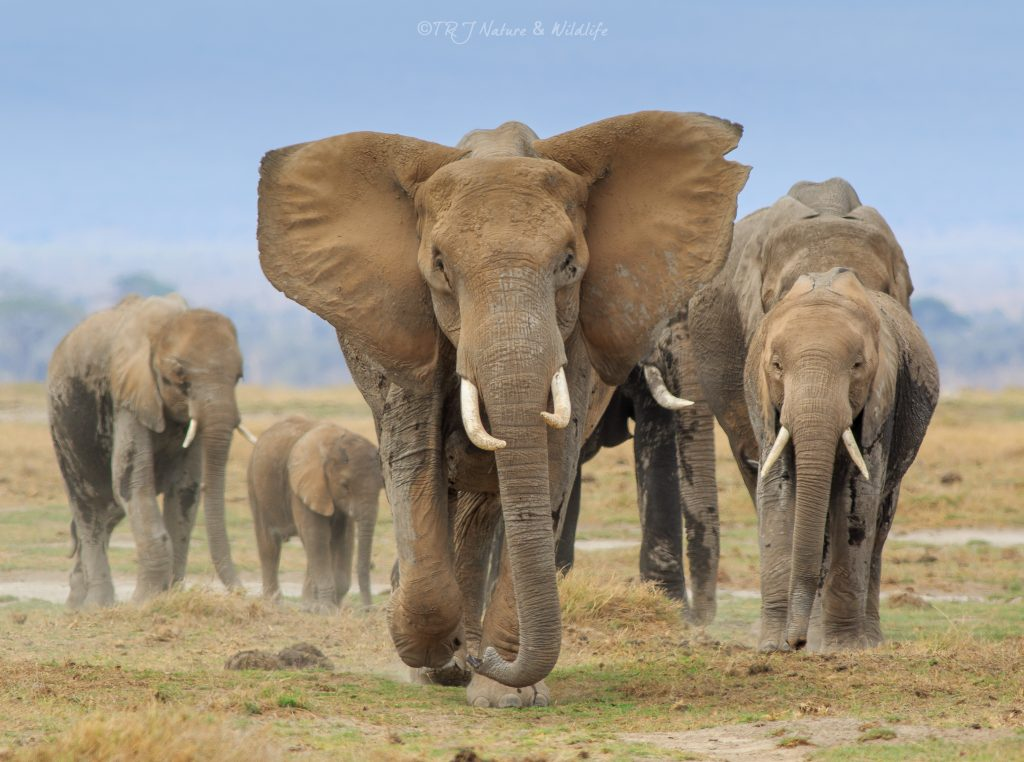 Mother takes in charge of her family while walking. – Amboseli National Park, Kenya