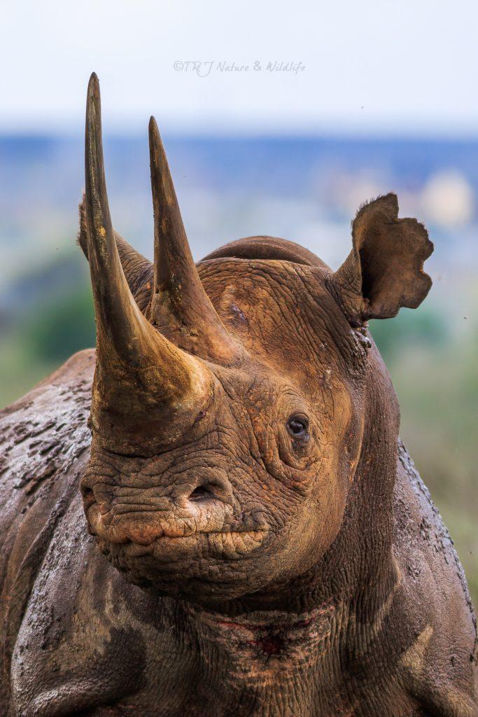 Black Rhino close-up Portrait