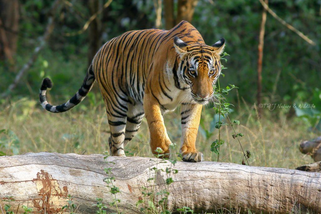 Tigress gives a stare during her morning walk – Kabini Backwaters, India.