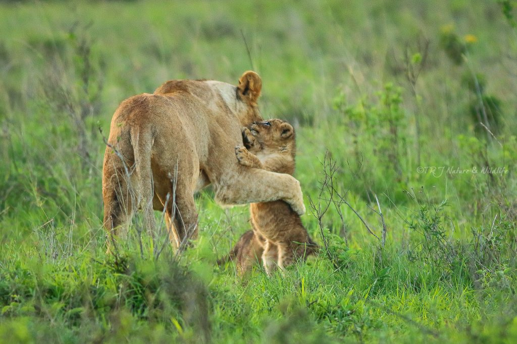 Lioness goes to greet her cubs after completing her meal - Nairobi National Park