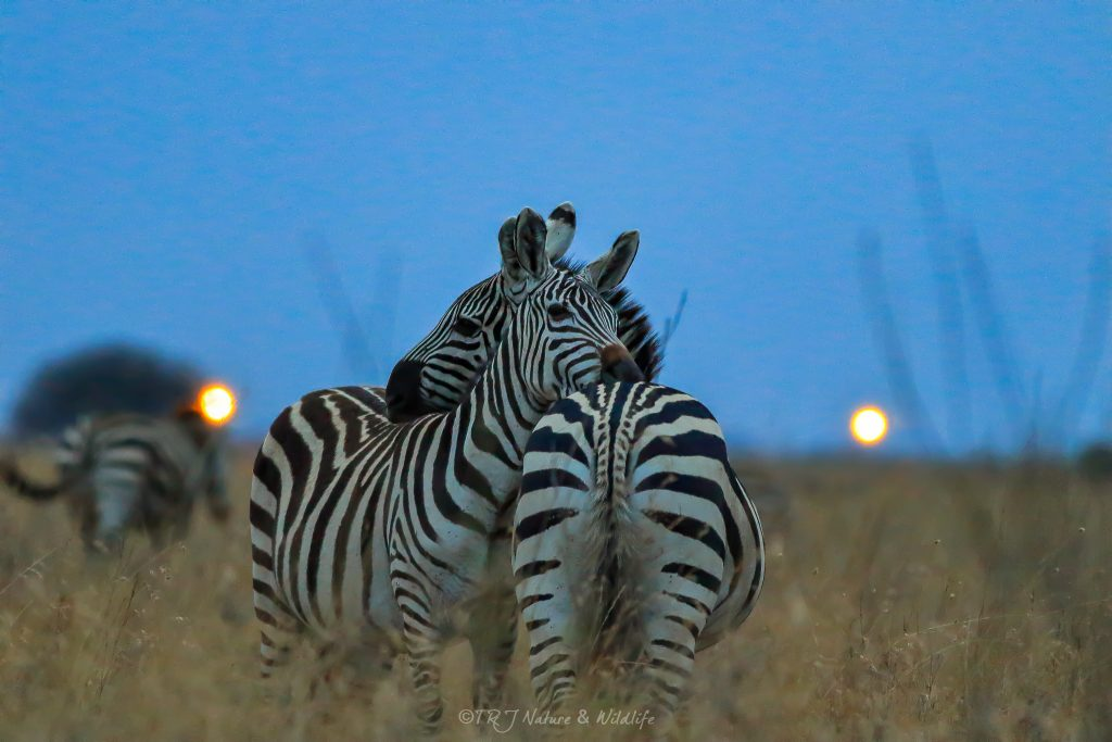 Zebra Couple Hug each other on a late evening – Nairobi National Park