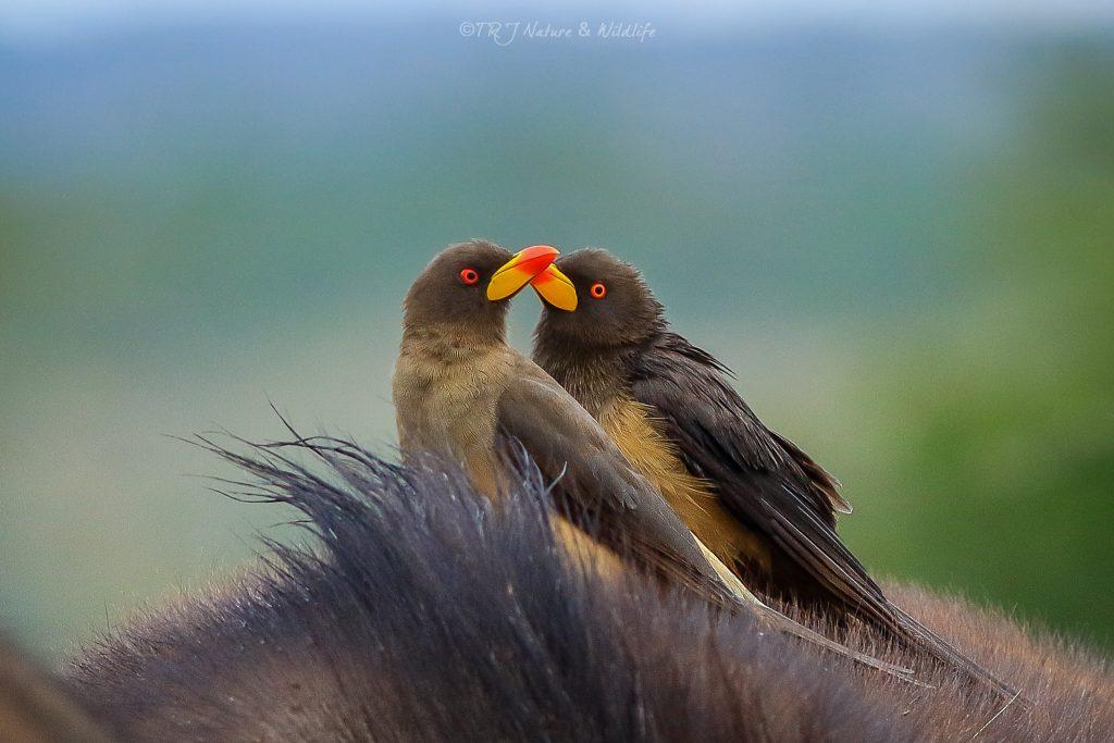 Oxpeckers chilling on a buffalo back – Nairobi National Park.