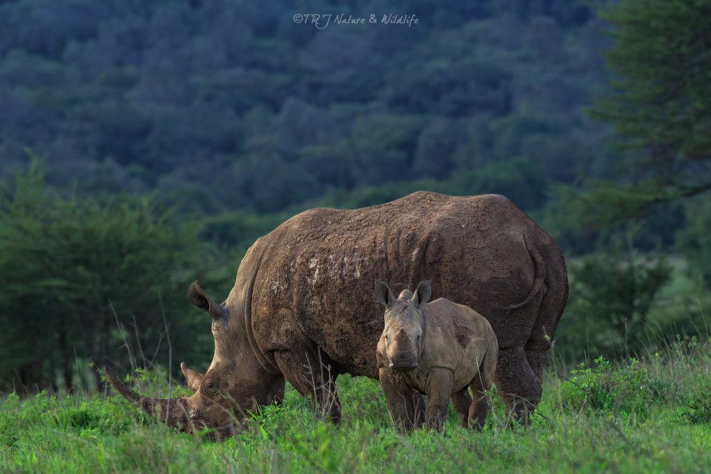 Black Rhino with her little one on a late evening.