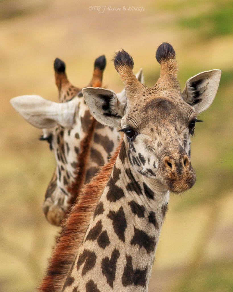 Emotional Looking Giraffe in Mirrored shot – Nairobi National Park