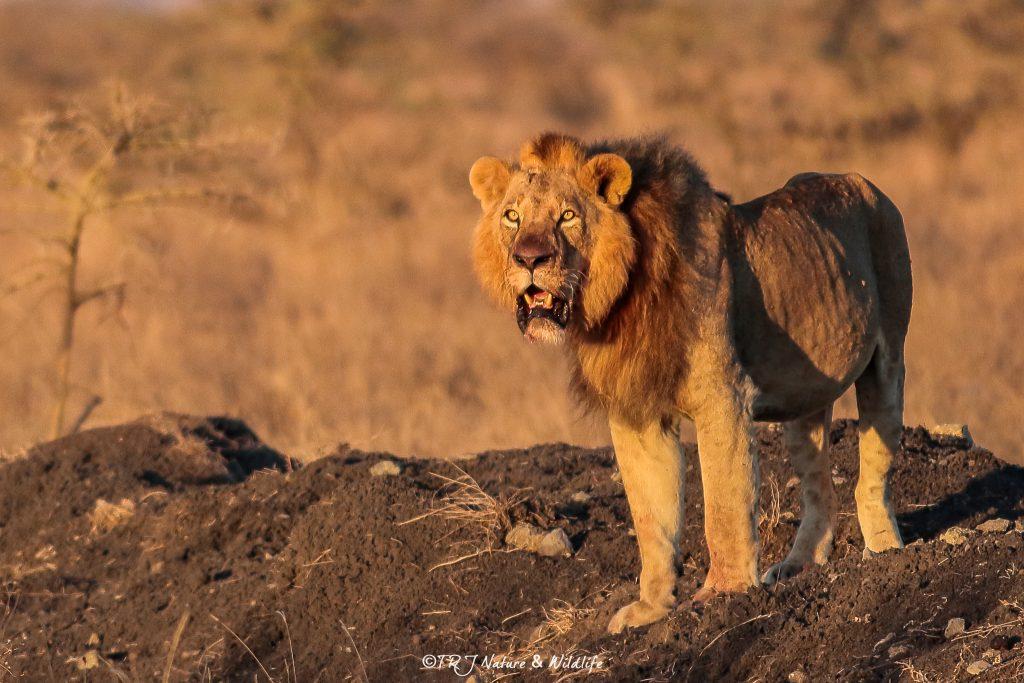 Male Lion shot during sunrise – Nairobi National Park