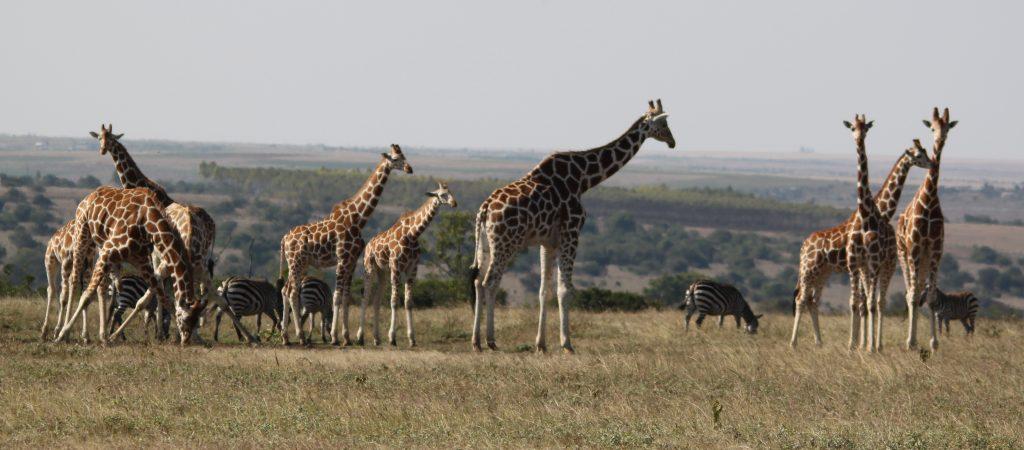Giraffes and Zebras in Kenya