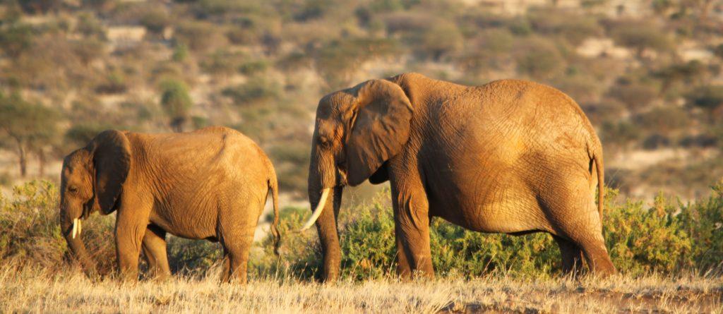 Two beautiful Elephants in Kenya